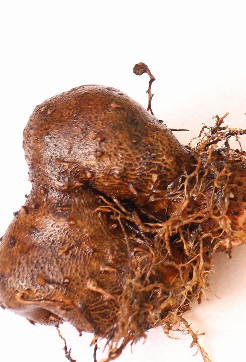 山芋かな? 大きい蜜柑の木の元で 31 1 20