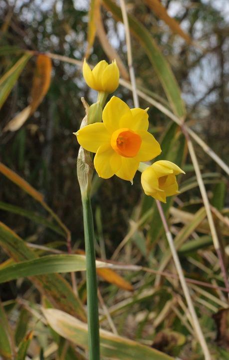 黄色い水仙 弥谷 31 1 24