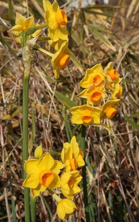 黄色い水仙みいつけた 31 1 24