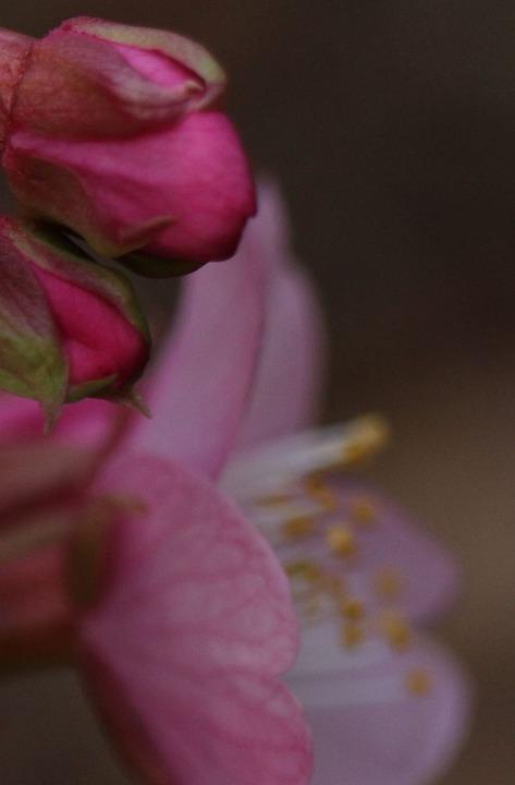 河津桜 花とツボミと 31 1 28