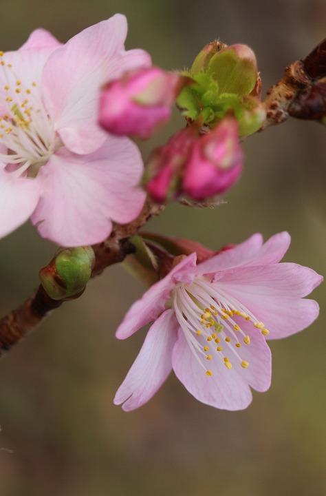河津桜が咲き始めて 31 1 28