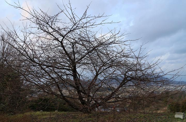 河津桜の木 花はまだ 31 1 28