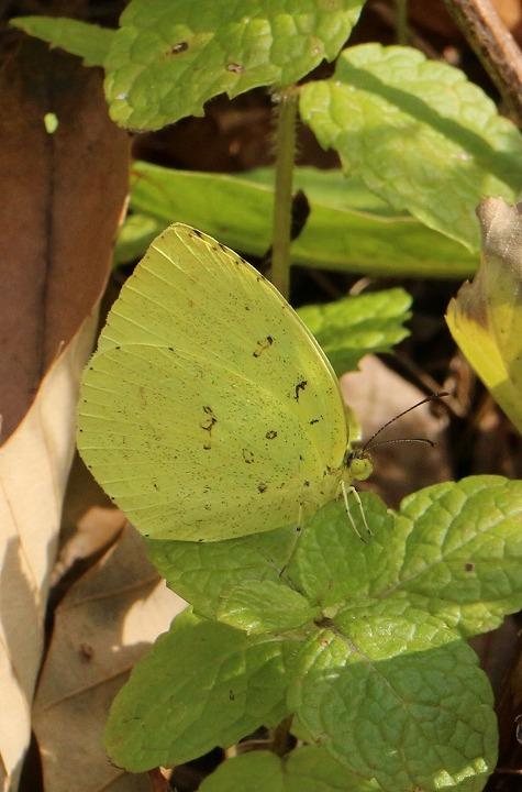 黄蝶たてに 31 1 24