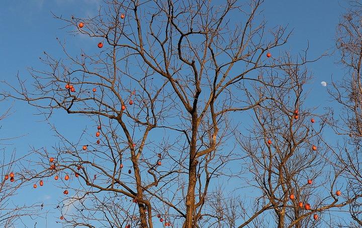 稲積大社にある柿の樹 31 1 17