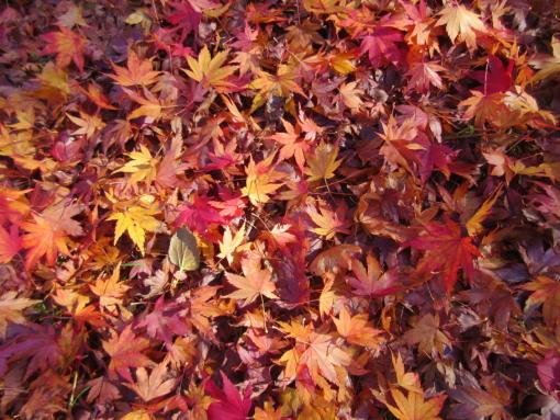 219  紅葉の絨毯(1)