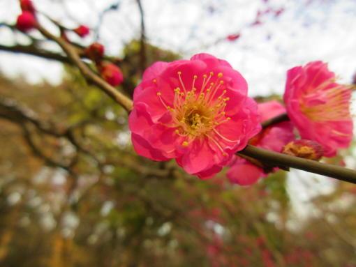 202  公園の梅(1)