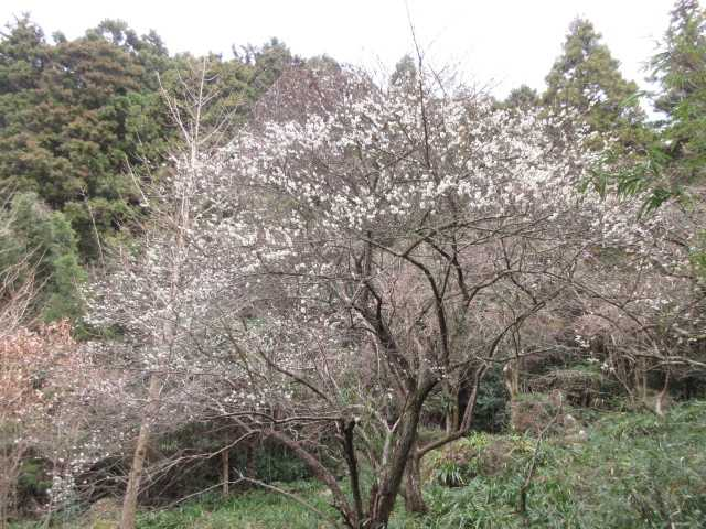 IMG0097JPG梅の花