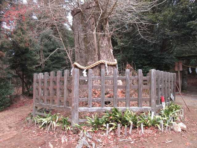 IMG0066JPG囲いの大木