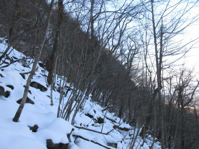 IMG0079JPGシオジの林