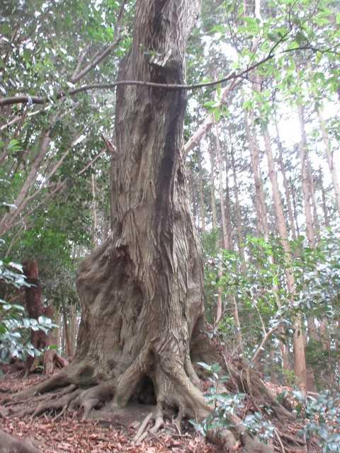 IMG0103JPG大木