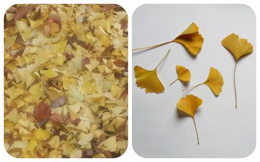 イチョウ落ち葉2
