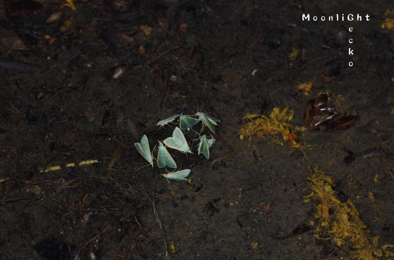 ノメイガ亜科の一種