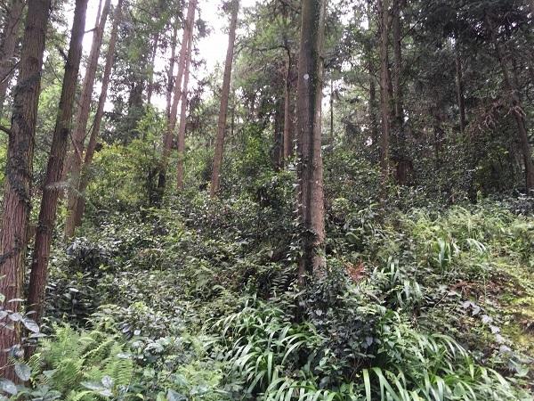 貴州省国立公園天鹅池 野放茶