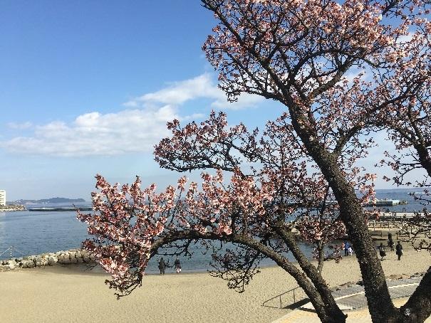 atami-sakura4.jpg