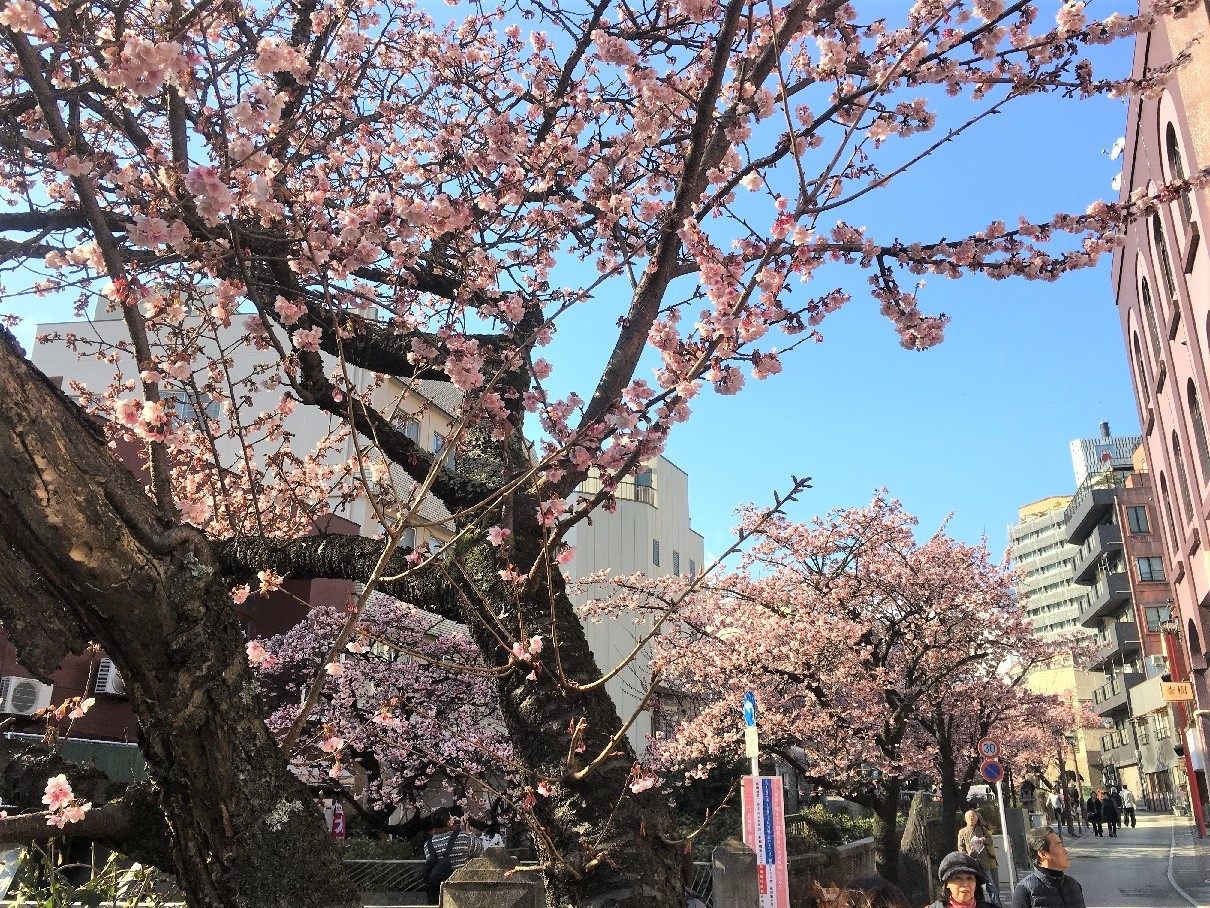 atami-sakura8_20190131135848653.jpg