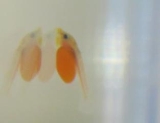 ブッシープレコ 稚魚
