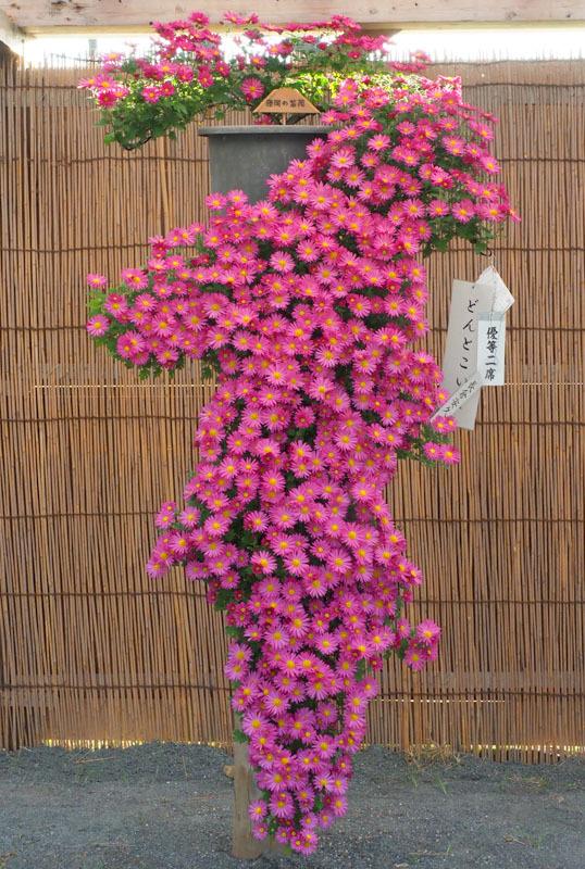 5476 菊花展 538×800