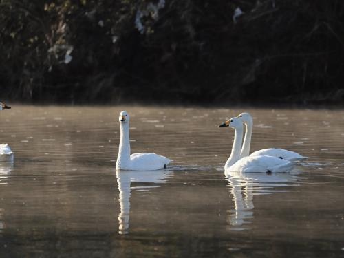 白鳥はとても綺麗ですね