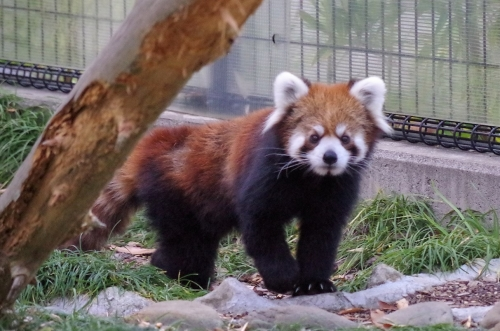 日本平動物園 ヤマト君 レッサーパンダ