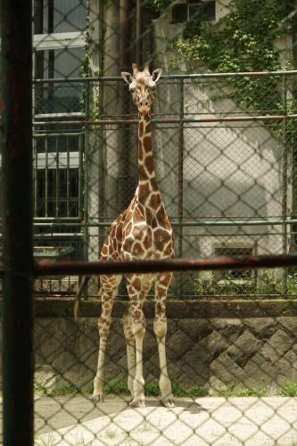 20170714 ジュラ君 福岡市動物園 アミメキリン