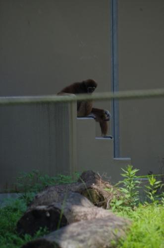 キナコちゃん シロテテナガザル #福岡市動物園