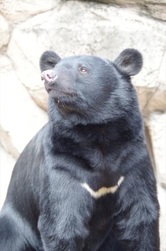 ツキノワグマ ゲンキ君 福岡市動物園 2016年