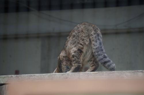 福岡市動物園のツシマヤマネコ むぅ君