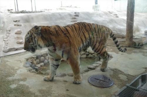 アムールトラ カイ君 福岡市動物園