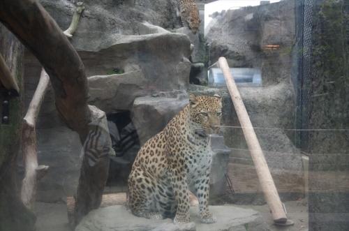 福岡市動物園のヒョウ ルナたん ママ