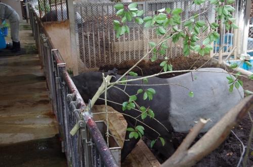 福岡市動物園のマレーバク ユメコちゃん お誕生日 12月19日