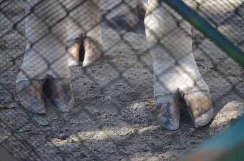 ジュラ君 福岡市動物園 アミメキリン