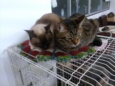 シャムG&キン