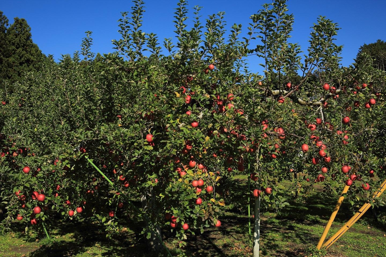 ブログ リンゴ満載.jpg