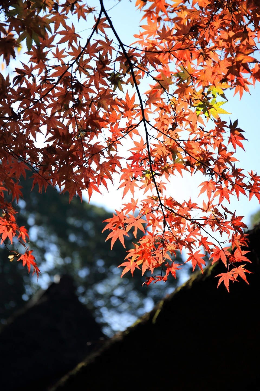 ブログ モミジが茅葺のお寺に映える.jpg