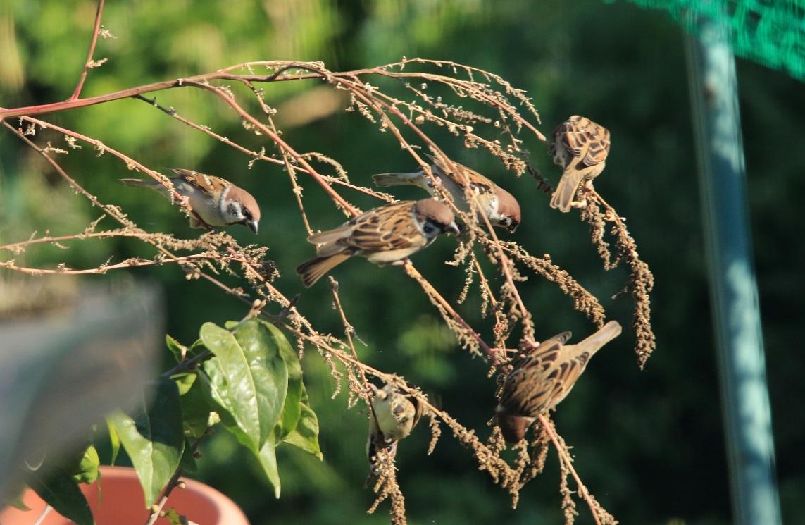 ブログ 我が家の雑草の種を食べるスズメ.jpg