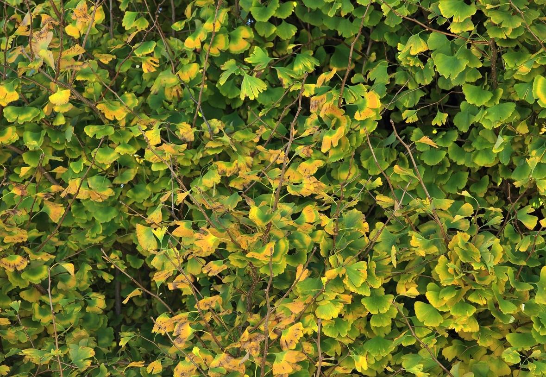 ブログ イチョウの黄葉への道.jpg