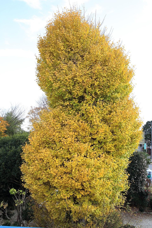 ブログ いよいよ色付いたイチョウの木.jpg