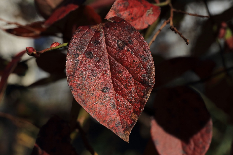 ブログ ブルーベリーの紅葉.jpg