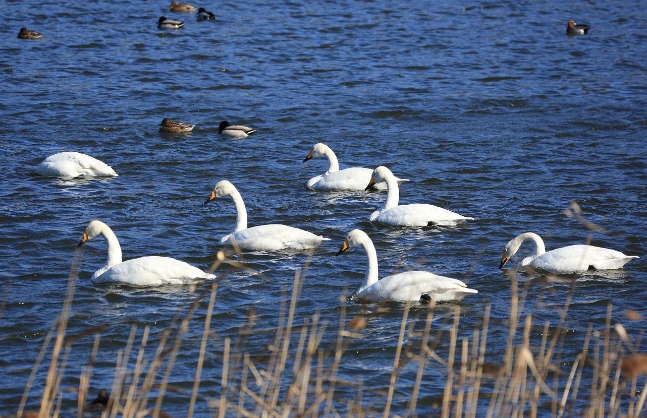 ブログ 7羽の白鳥.jpg