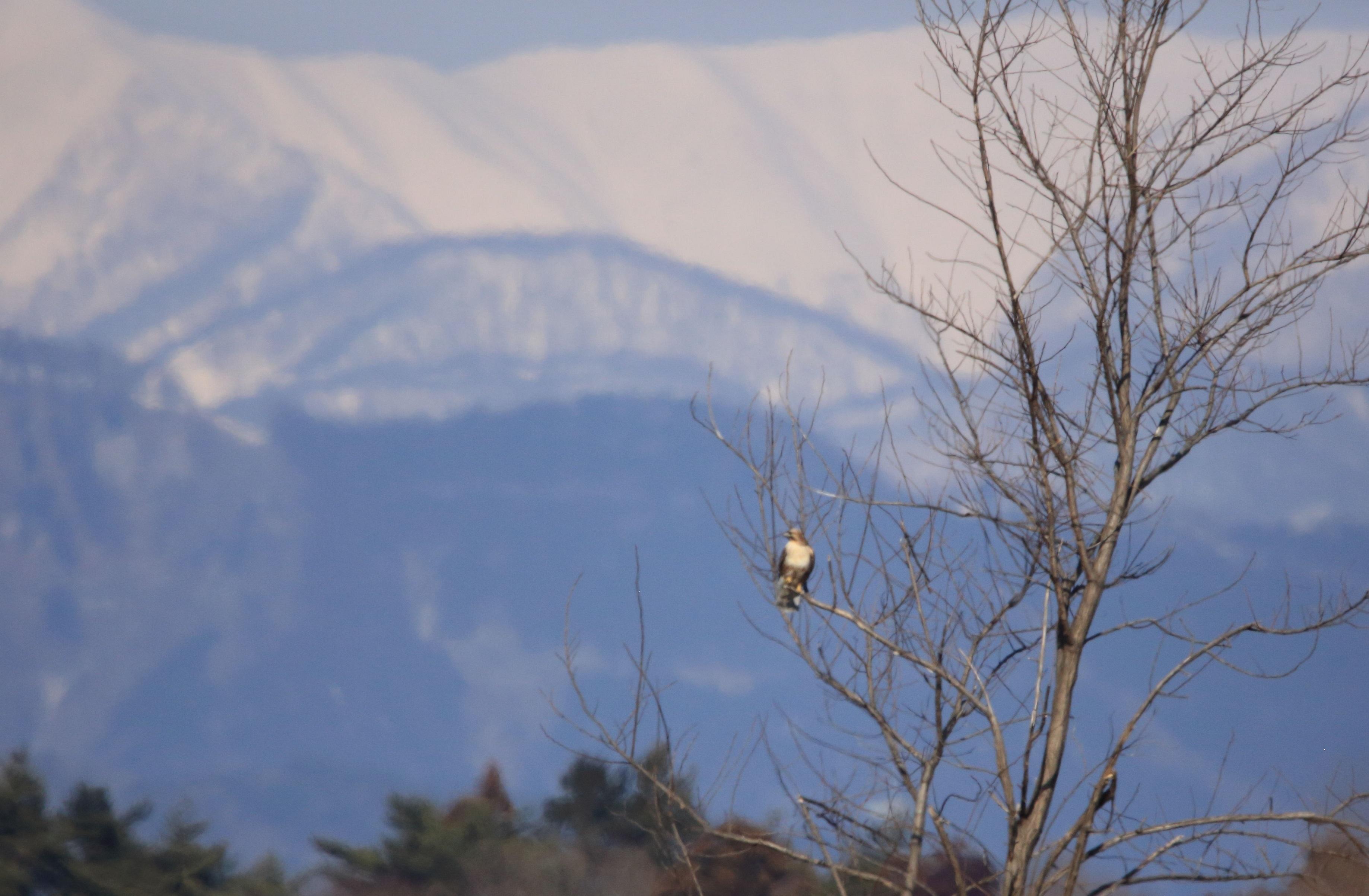 ブログ 雪山をバックのノスリ.jpg