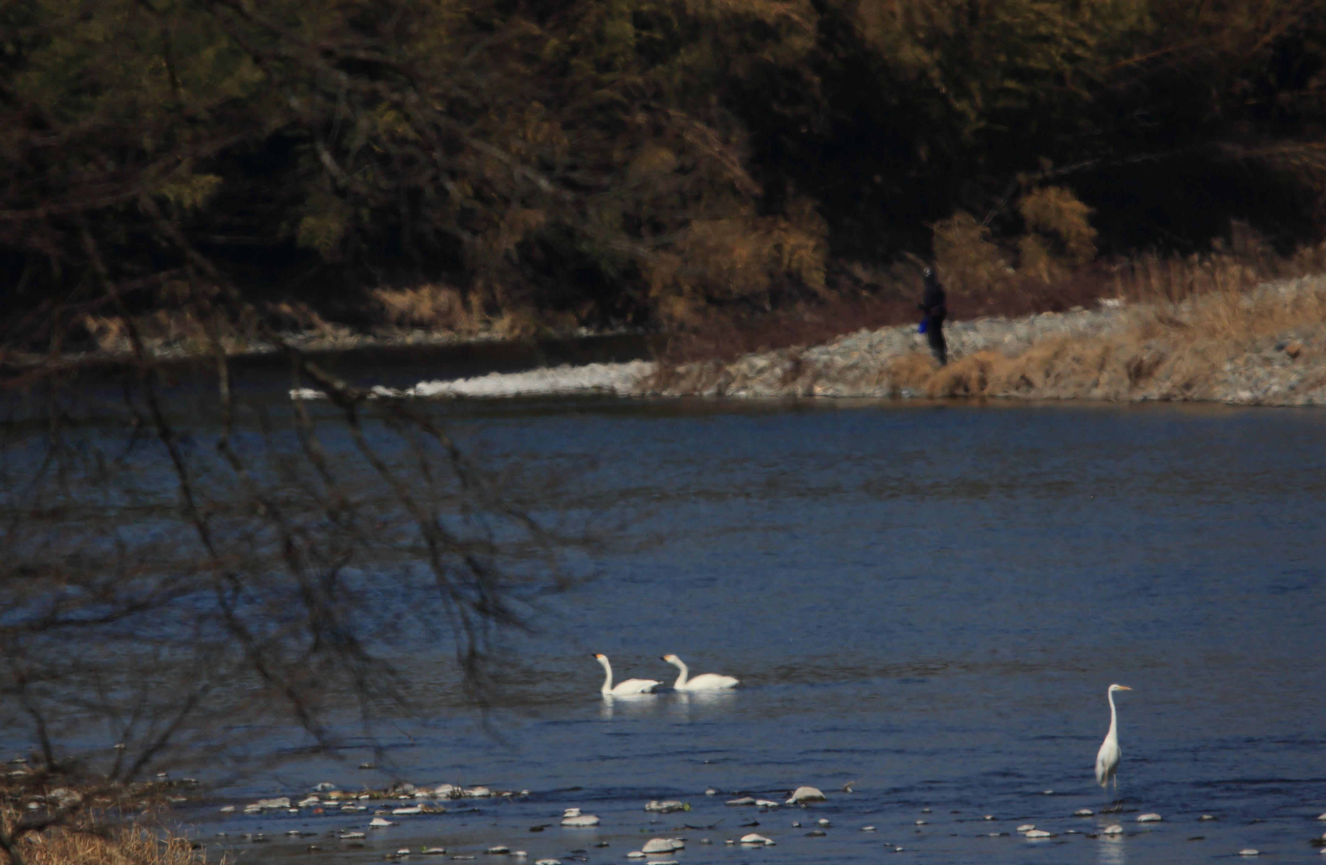 ダイサギと白鳥と釣り人 那珂川にて.JPG