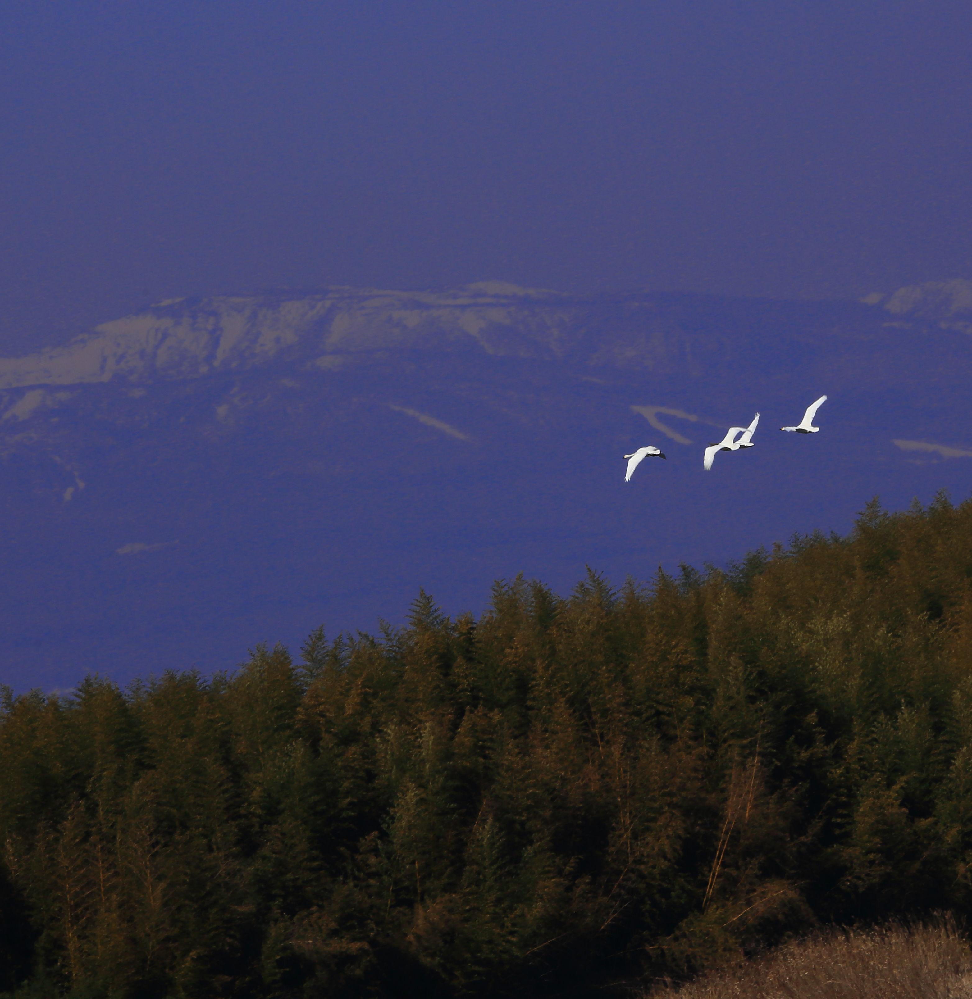 那須岳の向こうに飛んで行くコハクチョウ.JPG
