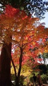 大木と紅葉