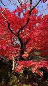 浄土庭園の紅葉その4