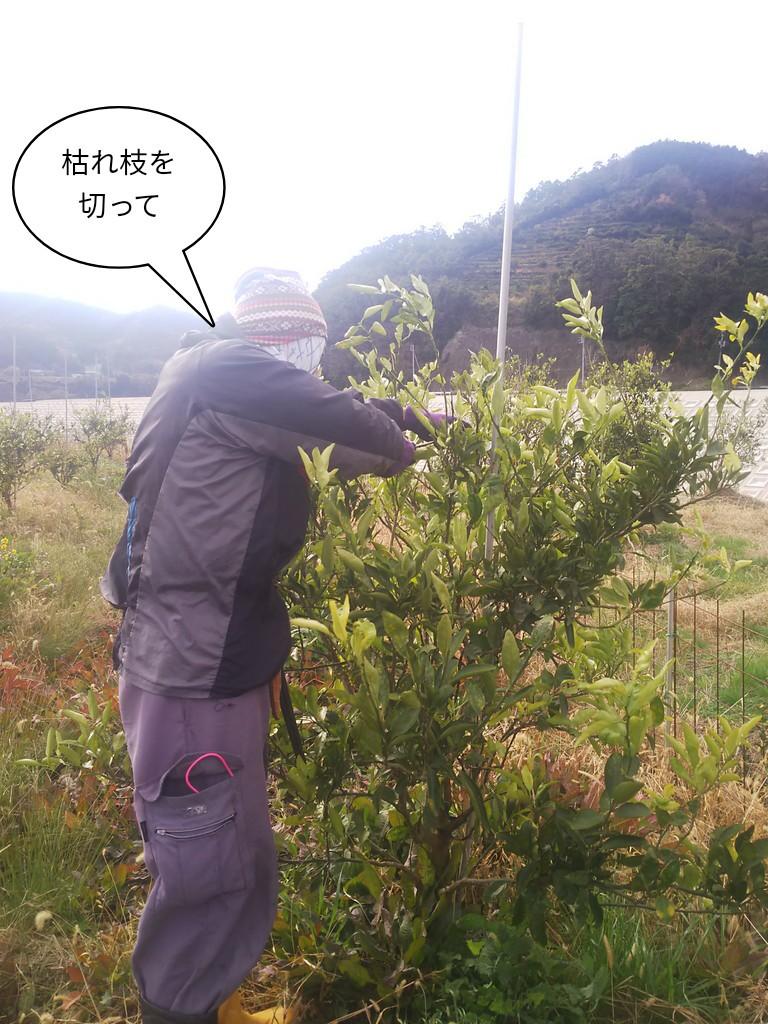 枯れ枝を切って