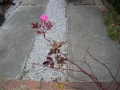 ナンフェア つるバラ