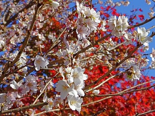 桜とモミジのある風景