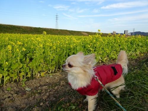 菜の花畑でお散歩♪
