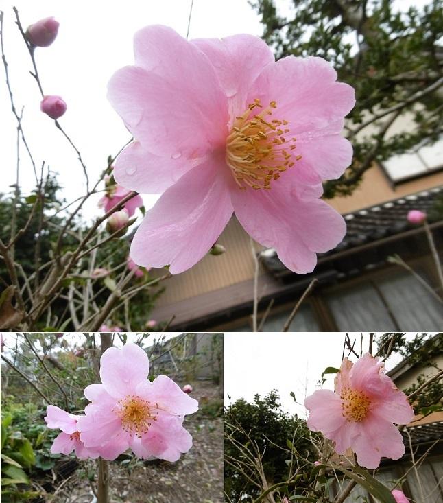 実家の葉のない椿の花