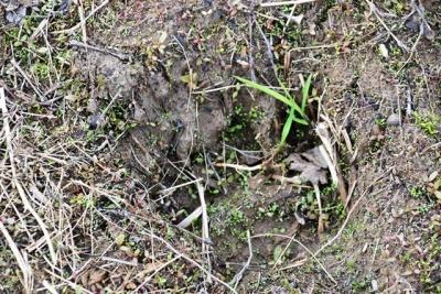 ヒグマの足跡  タウシュベツ